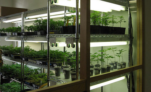 hydroponic-clones